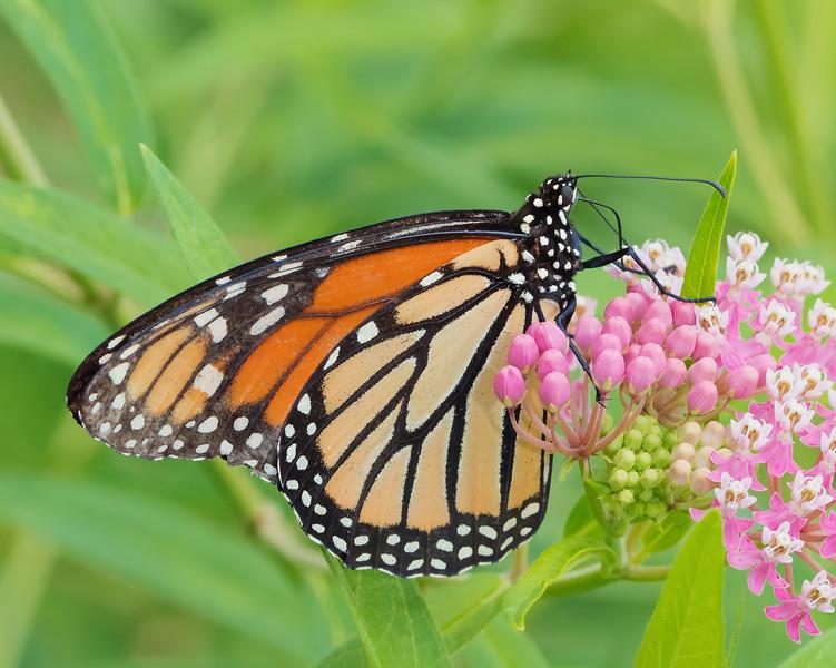 Mighty Monarch on Milkweed