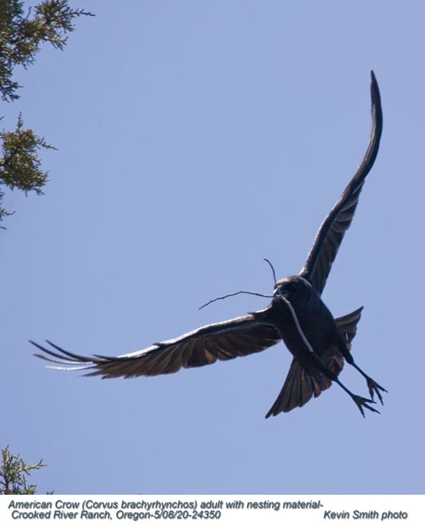 American Crow A24350.jpg