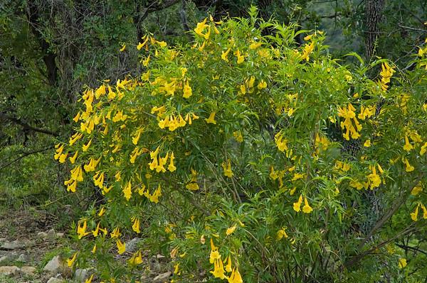 Trumpetbush-Yellow - California Gulch - AZ-02