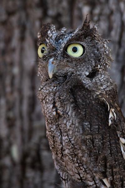 Eastern Screech Owl Vermont 2019-5.jpg