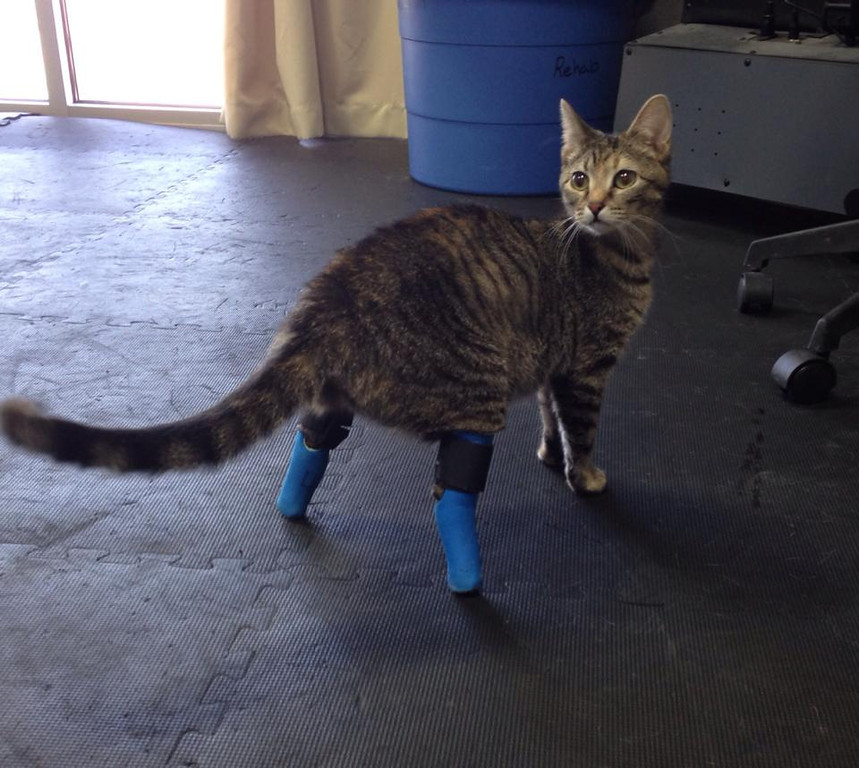 . (Boots, the double-amputee foster cat from Life is Better Rescue in Denver, Colorado. (Photo provided by Megan Brocato)