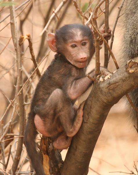 Adorable baby baboon!