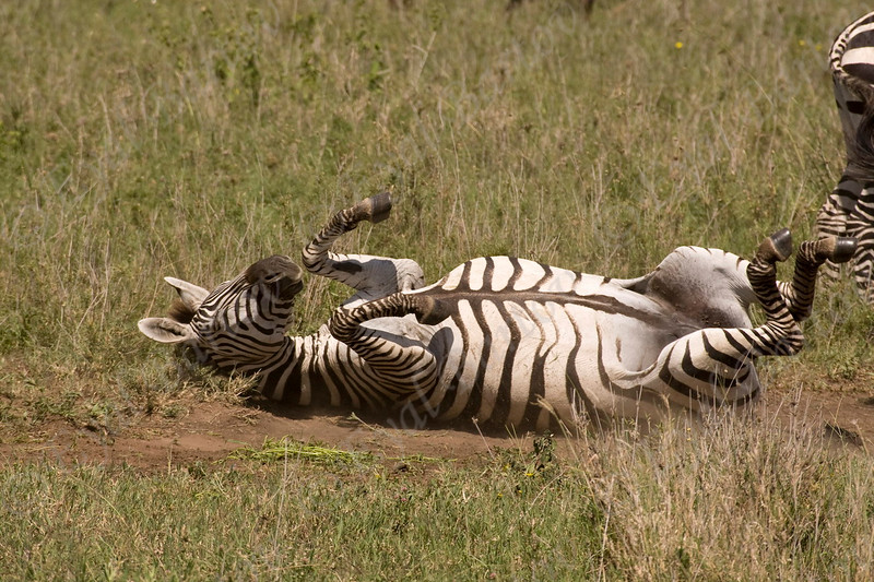 4U7C0315 grant zebra.jpg