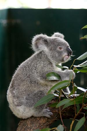 Koala Park Sanctuary, Pennant Hills Sydney