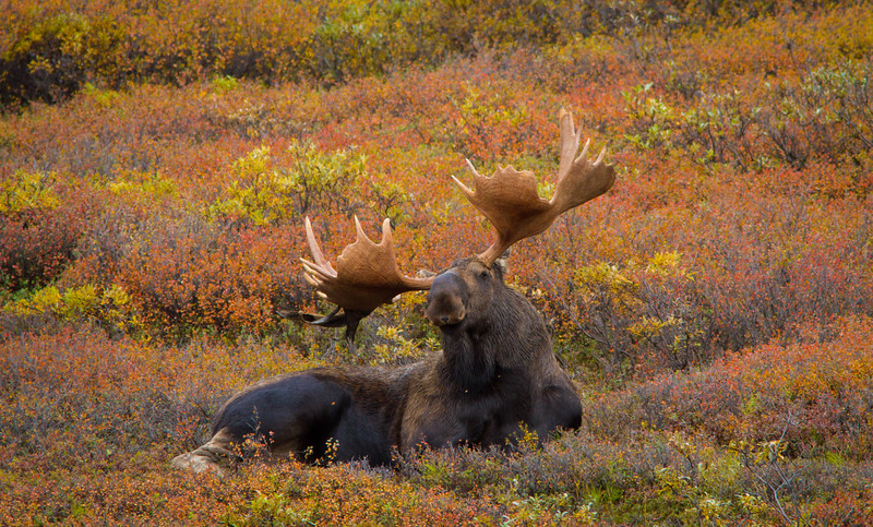 Bull moose in autumn tundra, Denali National Park