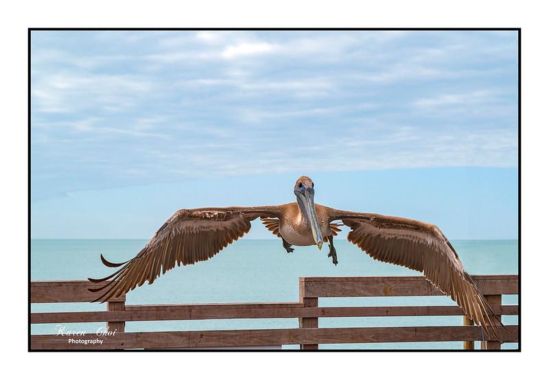 Pelican Wingspan sm.jpg