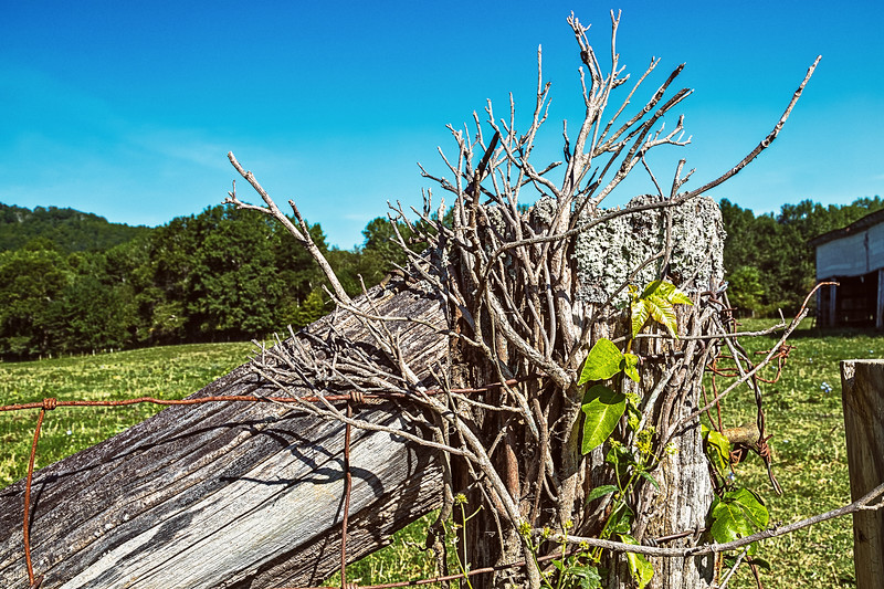 Fenceposts, Wire and Ivy Branches
