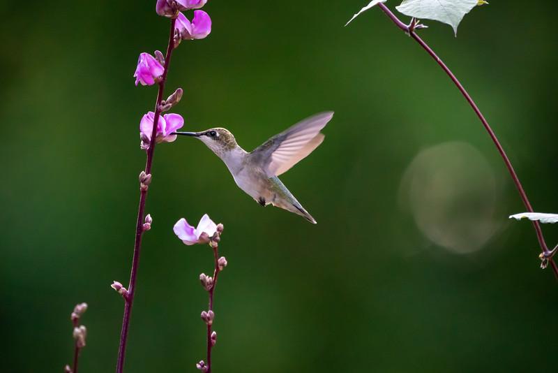 Female Ruby Throated Hummingbird
