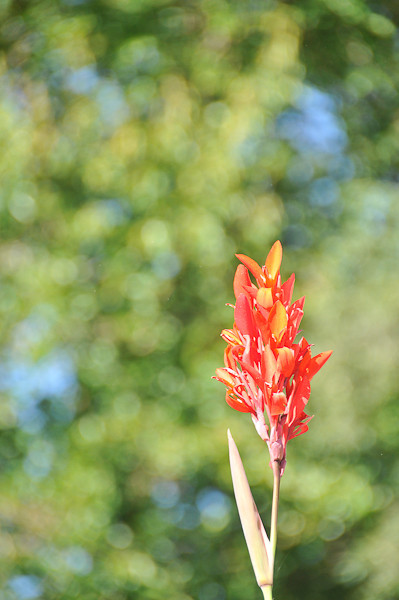 10 09-08  Canon flower blooming in Molly's garden. mlj