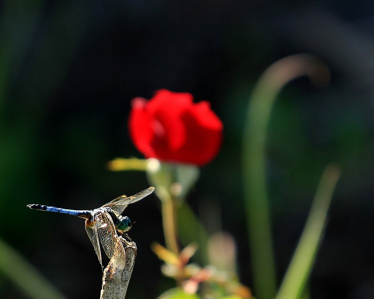 Dragonfly and Rose