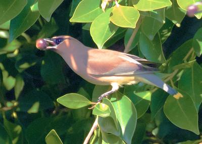 Cedar Waxwing Point Loma