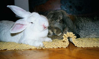 Rabbits in Homes