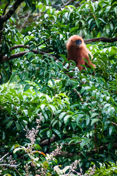 MONKEY - red leaf-0948.jpg
