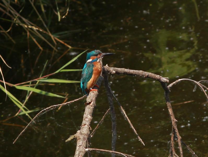 Common Kingfisher  Netherlands 2014 06 26-1.JPG