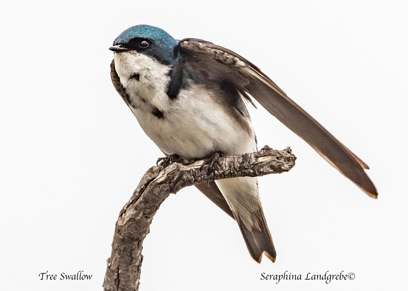 _DSC9181Tree Swallow takeoff.jpg