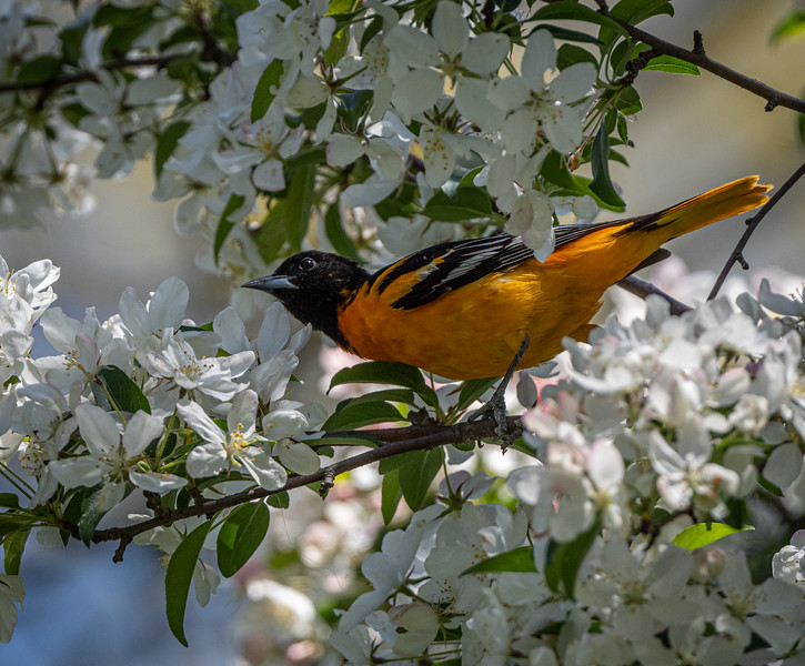 Baltimore Oriole in the flowers