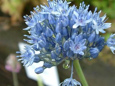 Allium caeruleum .jpg