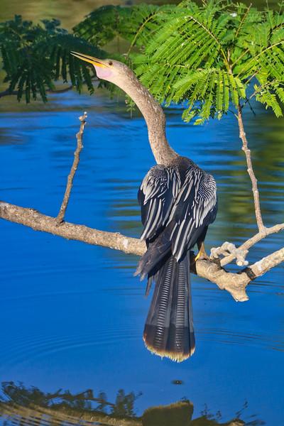 Anhinga -Snake Bird