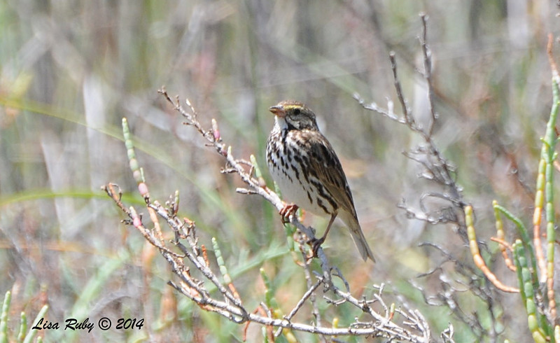 Belding Savannah Sparrow -  5/26/2014 - Batiquitos Lagoon