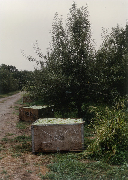 Home Ranch. Bartlett pears headed for Pacific Coast Producers. 1970s.