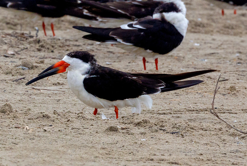 One of a huge flock of Black Skimmers
