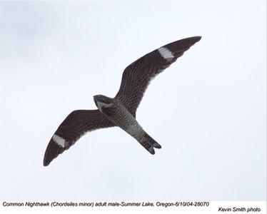 CommonNighthawk28070.jpg
