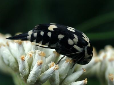 Mordellidae - Pin-tail Beetles