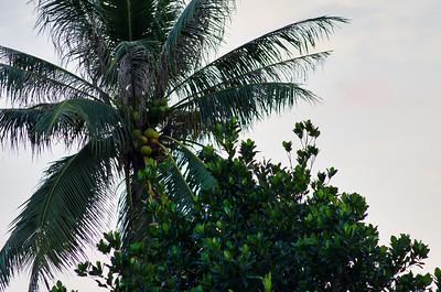 Palmetræer set fra terassen på Maya Buri Resort, Koh Samui
