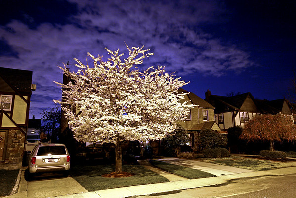 Cherry Tree at Night