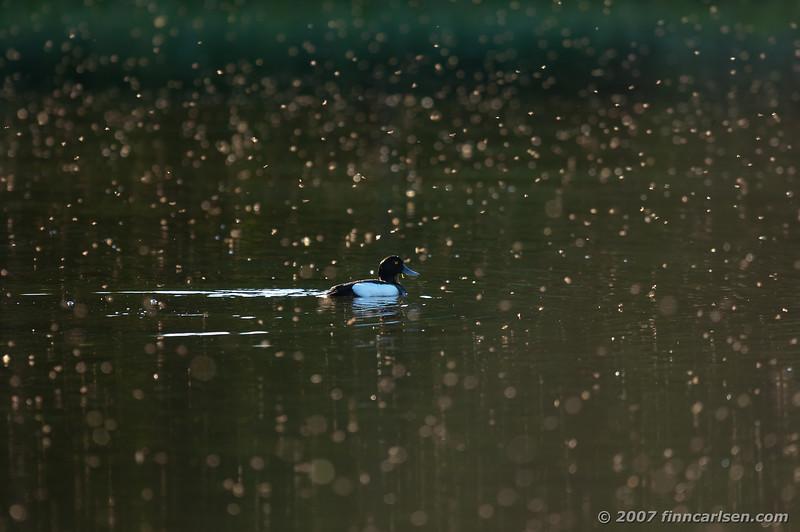 Troldand - Aythya fuligula - Tufted Duck