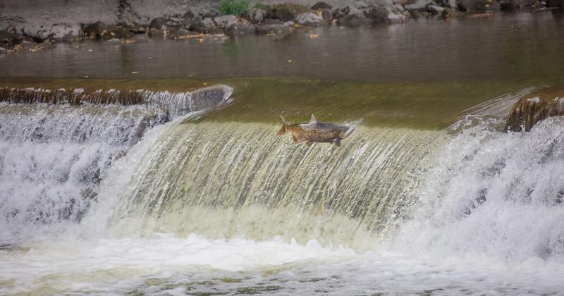 salmon upstream (7 of 48).jpg