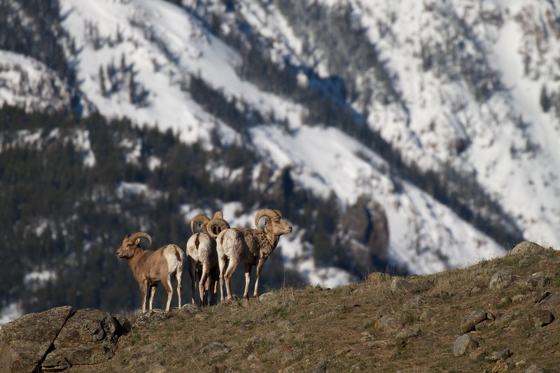 Bighorn Gardiner River Yellowstone National Park WY IMG_4299.jpg