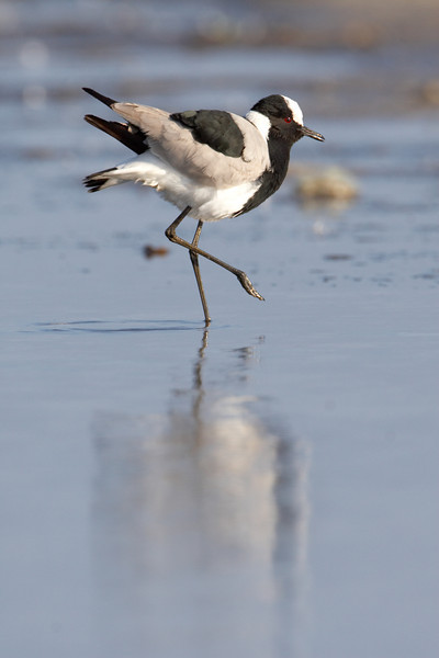 Blacksmith Plover (Vanellus armatus) Wading on tidial waters, north Cape Town, South Africa Jason Gallier - 0782