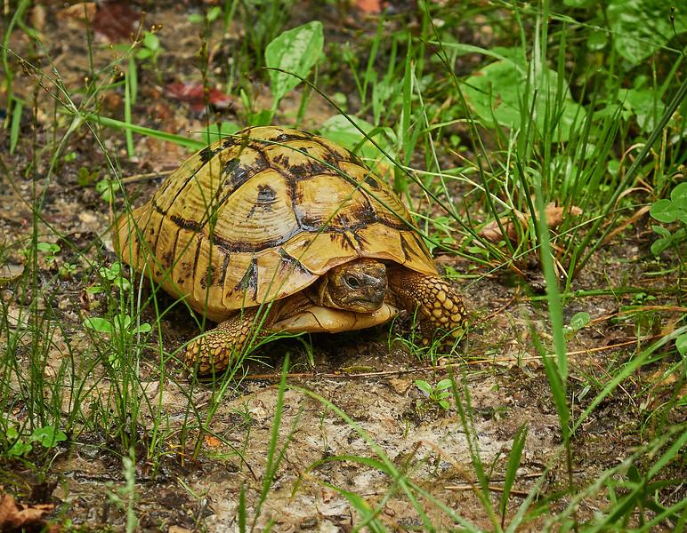 Wild tortoise in the woods