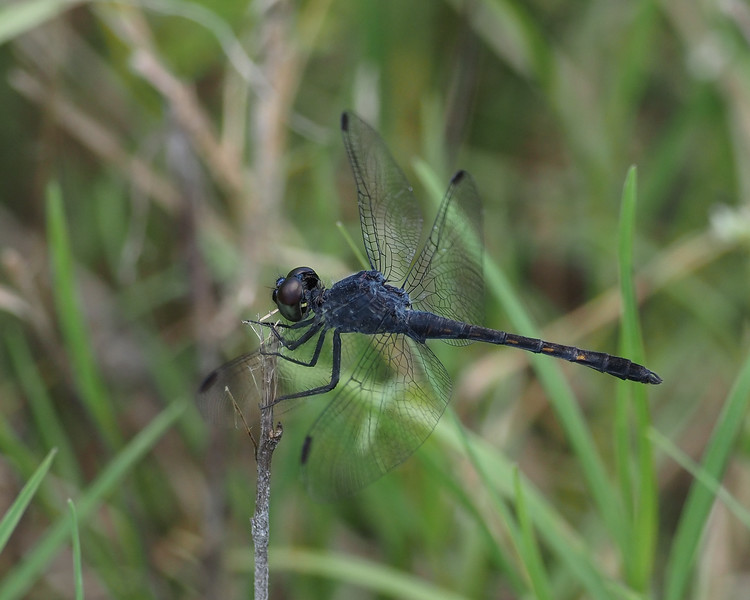 Seaside Dragonlet, male