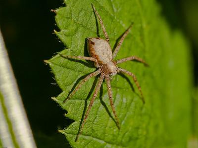 Running Crab Spider (Philodromus aureolus )