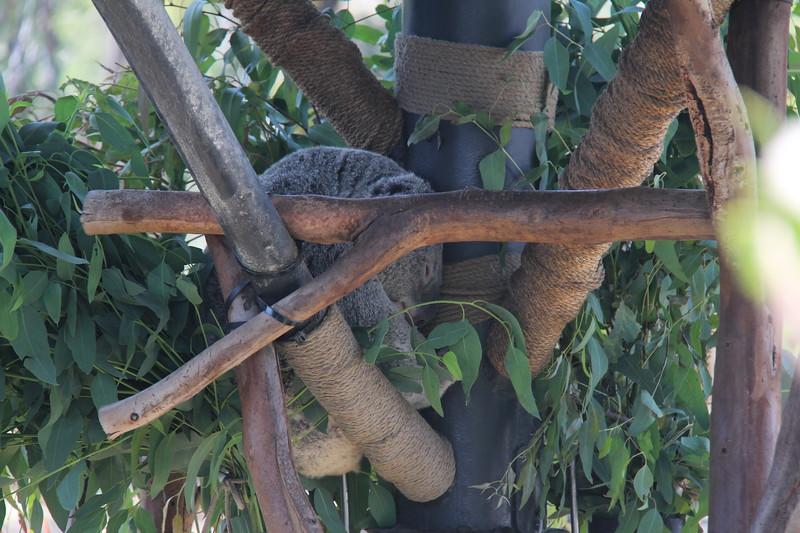 20170807-029 - San Diego Zoo - Koala.JPG