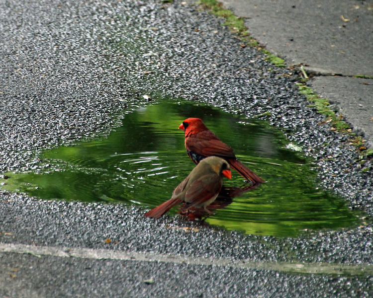 cardinals bathing  8 x 10.jpg