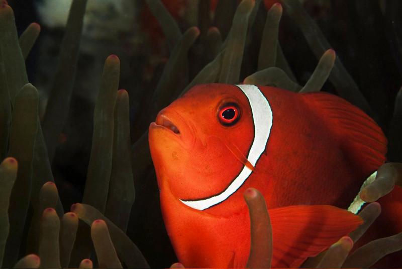 anemone fish 21.jpg