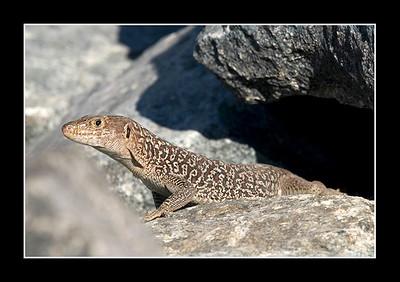 Jayakar's Oman Lizard