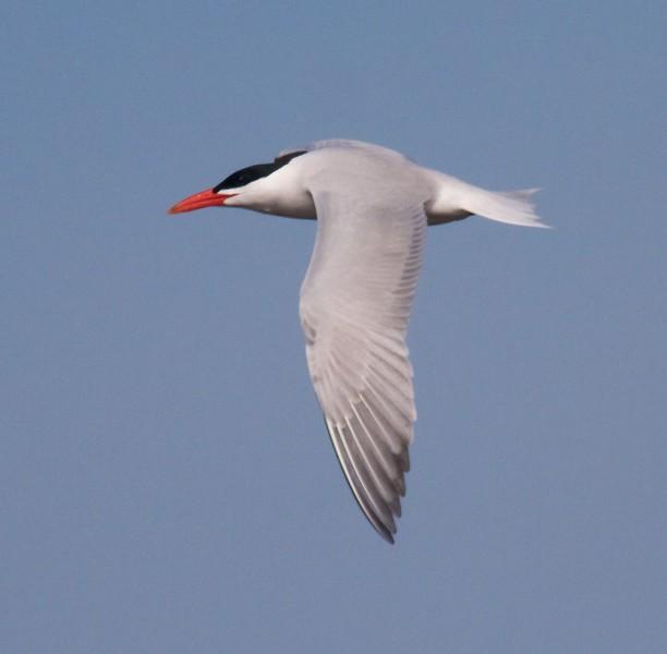 Caspian Tern Wisconsin Point Superior WI IMG_1492.jpg