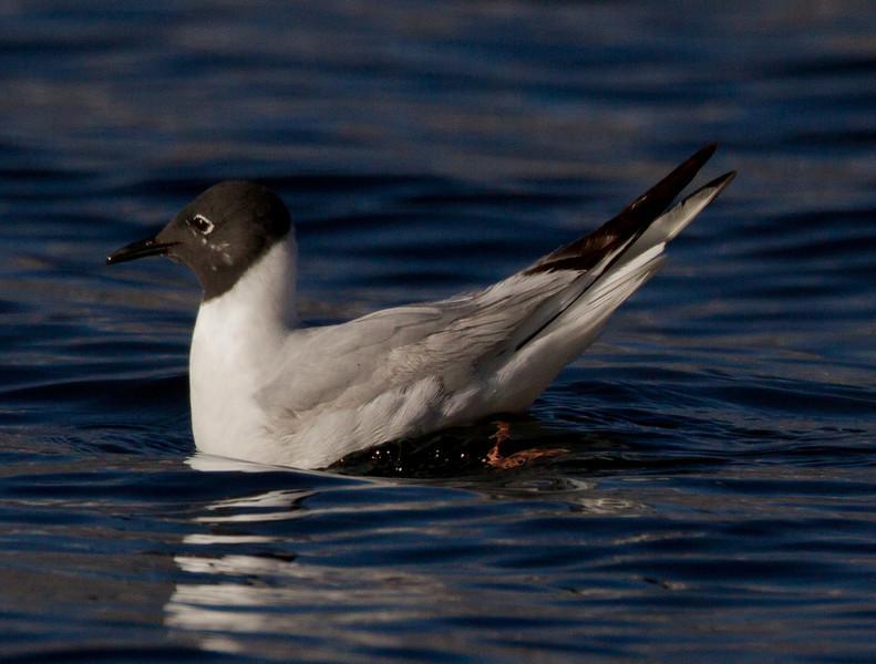 Bonaparte`s Gull  Crowley Lake 2013 05 20 (1 of 1).CR2-1.CR2