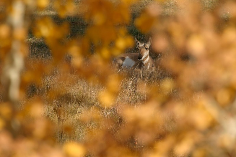 """Though sometimes called """"antelope,"""" Pronghorns are not related to them [September; Yellowstone National Park, Wyoming]"""