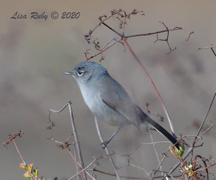 California Gnatcatcher  - 1/3/2020 - Lake Hodges Bernardo Bay Trail
