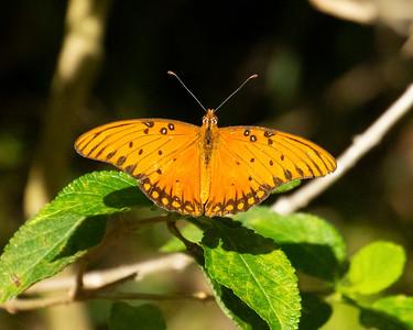 Hawaiian Butterflies