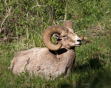 Yellowstone Bighorn Sheep  (Ovis canadensis)