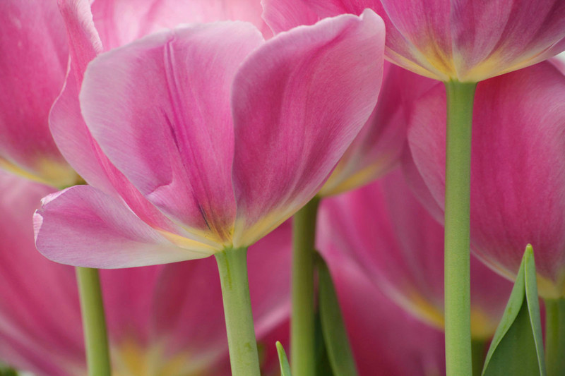 Soft pink tulips