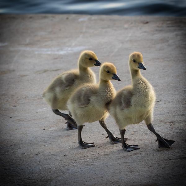 Baby Geese 64-Edit.jpg