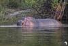 Hippo on the Great Zambezi River