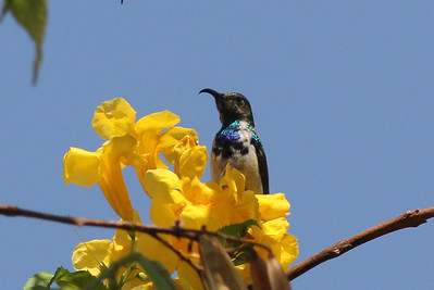 White-breasted (Bellied) Sunbird